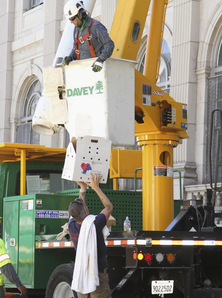 This July 11, 2019, photo released by International Bird Rescue shows a rescue team working to remove nests containing birds and eggs from a tree in Oakland, Calif. An animal rescue group is asking for help caring for baby snowy egrets and black-crowned night herons left homeless last week after a tree fell in downtown Oakland. (International Bird Rescue via AP)