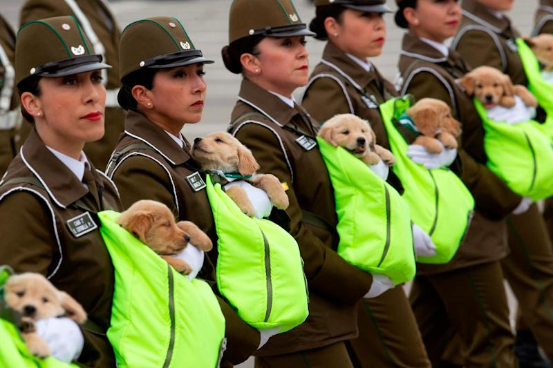 The dogs belong to the Canine Unit of the Carabineros de Chile: AFP/Getty Images
