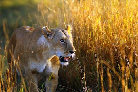 A lioness in the long grass - Credit: SUEBG1 PHOTOGRAPHY