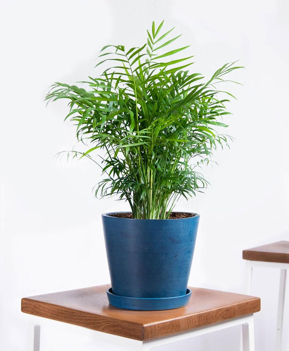 """<h2>Parlor Palm</h2><br>""""Native to Mexico and Central America, the parlor palm requires very little care and is an excellent air purifier,"""" Mast shares. You can bring this tiny taste of the tropics into your apartment no matter its size or light situations. It's even a <a href=""""https://www.refinery29.com/en-us/plants-safe-for-cats-dogs"""" rel=""""nofollow noopener"""" target=""""_blank"""" data-ylk=""""slk:great plant option for pet owners"""" class=""""link rapid-noclick-resp"""">great plant option for pet owners</a>. """"Its dark green fronds create a bushy, lush plant perfect for tabletops, desks, and shelves,"""" she adds. """"The parlor palm will do best in bright, filtered light, but will readily adjust to low light as well.""""<br><br><em>Shop</em> <strong><em><a href=""""http://bloomscape.com"""" rel=""""nofollow noopener"""" target=""""_blank"""" data-ylk=""""slk:Bloomscape"""" class=""""link rapid-noclick-resp"""">Bloomscape</a></em></strong><br><br><strong>Bloomscape</strong> Parlor Palm, $, available at <a href=""""https://go.skimresources.com/?id=30283X879131&url=https%3A%2F%2Fbloomscape.com%2Fproduct%2Fparlor-palm%2F"""" rel=""""nofollow noopener"""" target=""""_blank"""" data-ylk=""""slk:Bloomscape"""" class=""""link rapid-noclick-resp"""">Bloomscape</a>"""