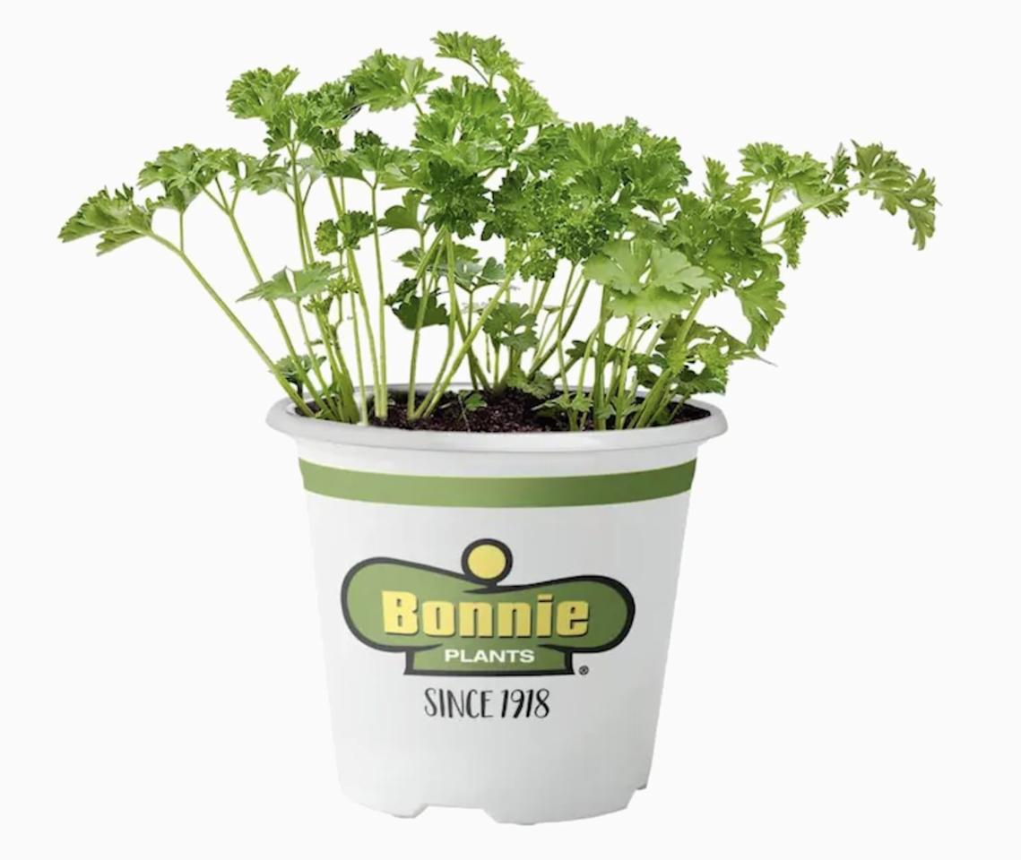 """<p>Rip off a sprig of this <a href=""""https://www.popsugar.com/buy/parsley-580356?p_name=parsley&retailer=lowes.com&pid=580356&price=5&evar1=casa%3Aus&evar9=47536388&evar98=https%3A%2F%2Fwww.popsugar.com%2Fphoto-gallery%2F47536388%2Fimage%2F47536395%2FParsley&list1=house%20plants%2Cplants&prop13=api&pdata=1"""" rel=""""nofollow"""" data-shoppable-link=""""1"""" target=""""_blank"""" class=""""ga-track"""" data-ga-category=""""Related"""" data-ga-label=""""https://www.lowes.com/pd/Bonnie-19-3-oz-in-Pot-Parsley/1000235375"""" data-ga-action=""""In-Line Links"""">parsley</a> ($5) to add to your favorite savory dish. It's a fresh garnish or can be cooked in.</p>"""