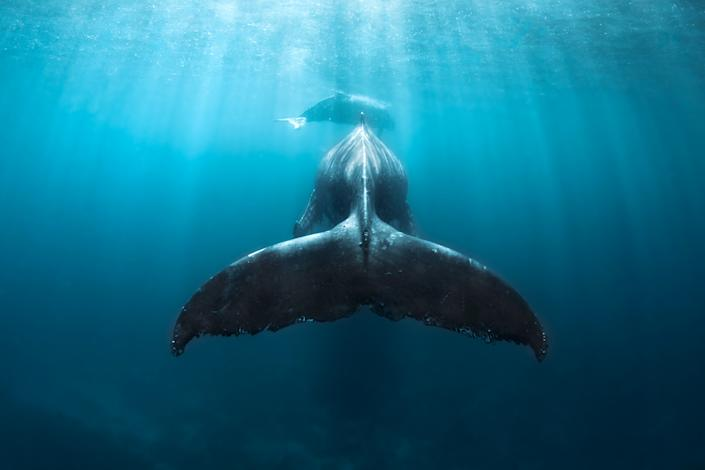 Humpback whales swimming off the coast of Tonga. (Photo: Grant Thomas/Caters News)