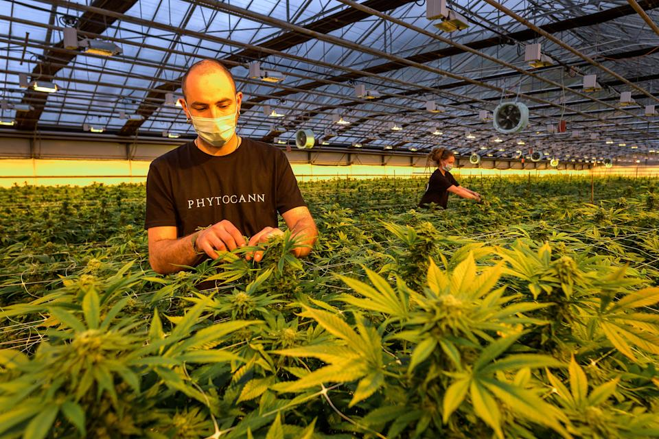 Staff pose in a greenhouse at the CBD cannabis production company Phytocann near Ollon, western Switzerland on May 19, 2021. - France will allow products containing cannabidiol (CBD), the non-psychotropic molecule in cannabis that is said to have relaxing properties, but the sale of dried flowers and leaves will remain prohibited. (Photo by Fabrice COFFRINI / AFP) (Photo by FABRICE COFFRINI/AFP via Getty Images)