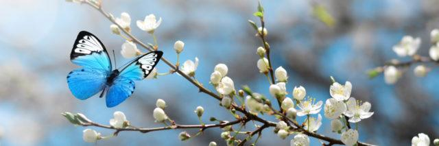 Cherry blossoms with butterfly.