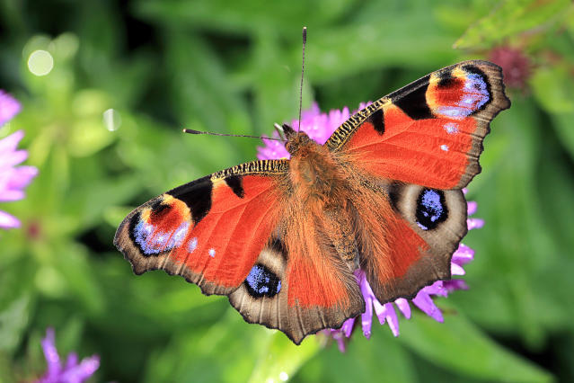 Peacock butterflies have been sighted early this year. (Getty)