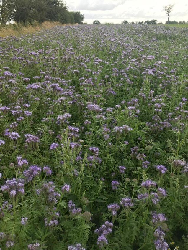 Arla farmers have long been committed to cultivating pollinator patches on their 2,300 farms up and down the country