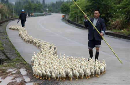 A breeder, whose business has been affected by the H7N9 bird flu virus, walks his ducks along a road in Changzhou county