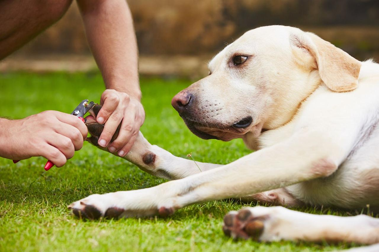 """<p>To get your dog used to the process, hold the clippers close to their <a href=""""https://www.womansday.com/life/pet-care/a27542114/dexas-paw-plunger/"""" target=""""_blank"""">paws</a> — without actually cutting anything — while distracting them with a treat. Remember to praise them and reward them when they stay calm.</p><p><strong>READ MORE</strong>: <a href=""""https://www.womansday.com/life/pet-care/g27681490/how-to-get-rid-of-fleas-on-dogs/"""" target=""""_blank"""">Get Rid of Those Pesky Fleas With These Easy Techniques</a></p>"""