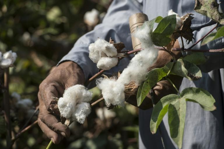 Nearly all of Africa's cotton is exported without having been processed