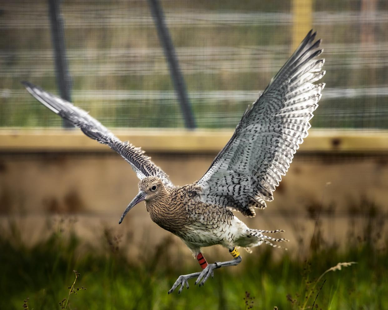 Rescued curlew