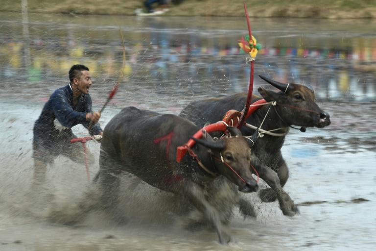 The races have been held annually in Chonburi for more than 100 years (AFP Photo/Lillian SUWANRUMPHA)