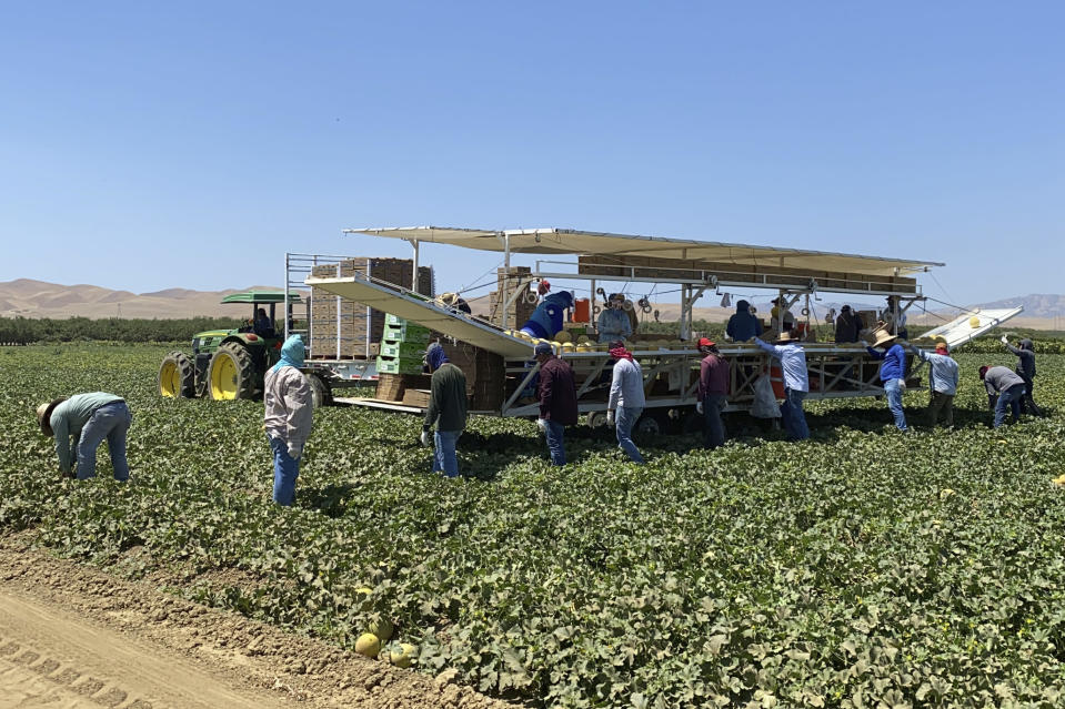 Farmworkers at Del Bosque Farms pick and pack melons on a mobile platform in Firebaugh, Calif., on Friday, July 9, 2021, where temperatures were expected to surpass 110 degrees this weekend. (AP Photo/Terry Chea)