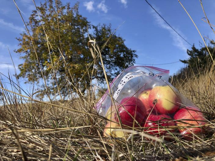 In this Oct. 23, 2019, photo, apples collected by amateur botanists David Benscoter and EJ Brandt of the Lost Apple Project, rest on the ground in an orchard at an abandoned homestead near Genesee, Idaho. Benscoter and Brandt recently learned that their work in the fall of 2019 has led to the rediscovery of 10 apple varieties in the Pacific Northwest that were planted by long-ago pioneers and had been thought extinct. (AP Photo/Gillian Flaccus)