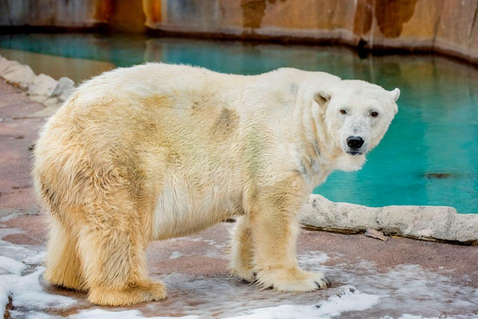 Snow Lilly, 36, was the oldest polar bear in captivity in North America.