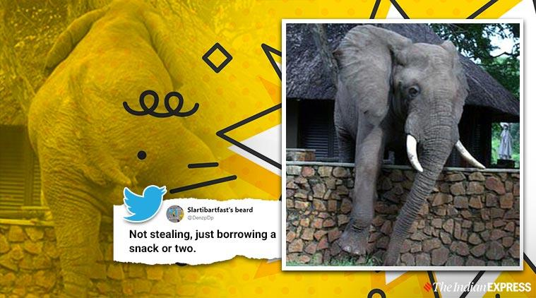 Elephant climbing wall, Elephant climbs wall in search of mangoes, Zambia, South Luangwa National Park, Trending, Indian Express news