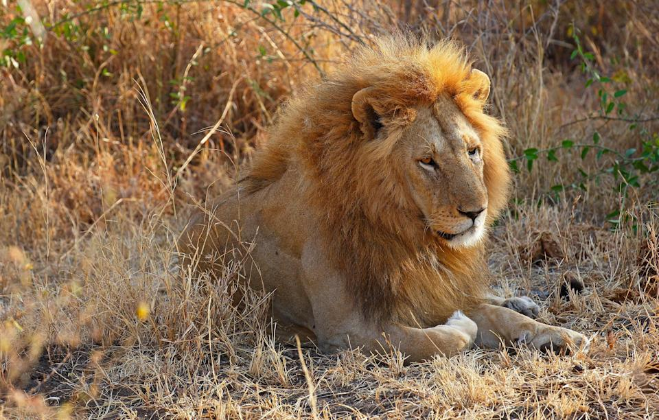 The pride of lions reportedly left the suspected poacher's head untouched (Rex)