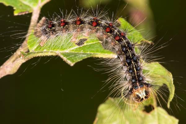 A gypsy moth caterpillar, Lymantria dispar, with red and blue tufts of bristles, on a leaf in Shenipsit State Forest in Somers, Connecticut.
