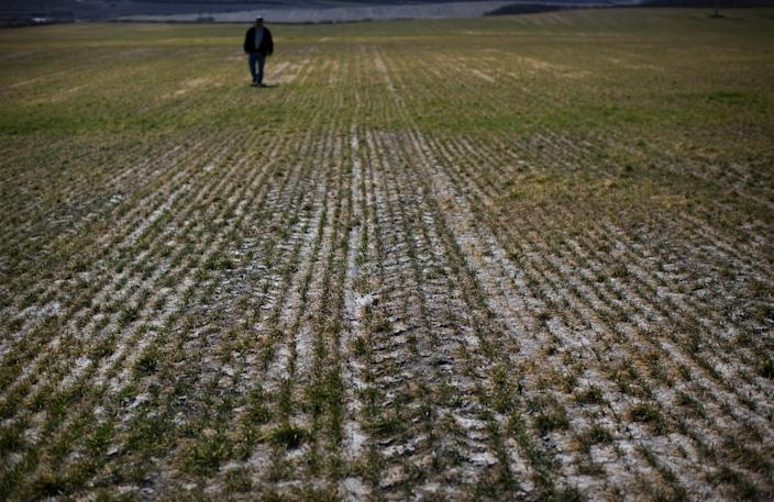 Farmer Fernando Luna walks on his dry crop in Robres village, Huesca, Spain, Tuesday March 13, 2012. Spain is suffering the driest winter in more than 70 years, adding yet another woe for an economically distressed country that can scarcely afford it. Thousands of jobs and many millions of euros could be in jeopardy. (AP Photo/Emilio Morenatti)