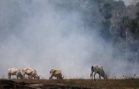Cattle graze on a smoldering field that was hit by a fire burning a tract of the Amazon forest as it is cleared by farmers, in Rio Pardo