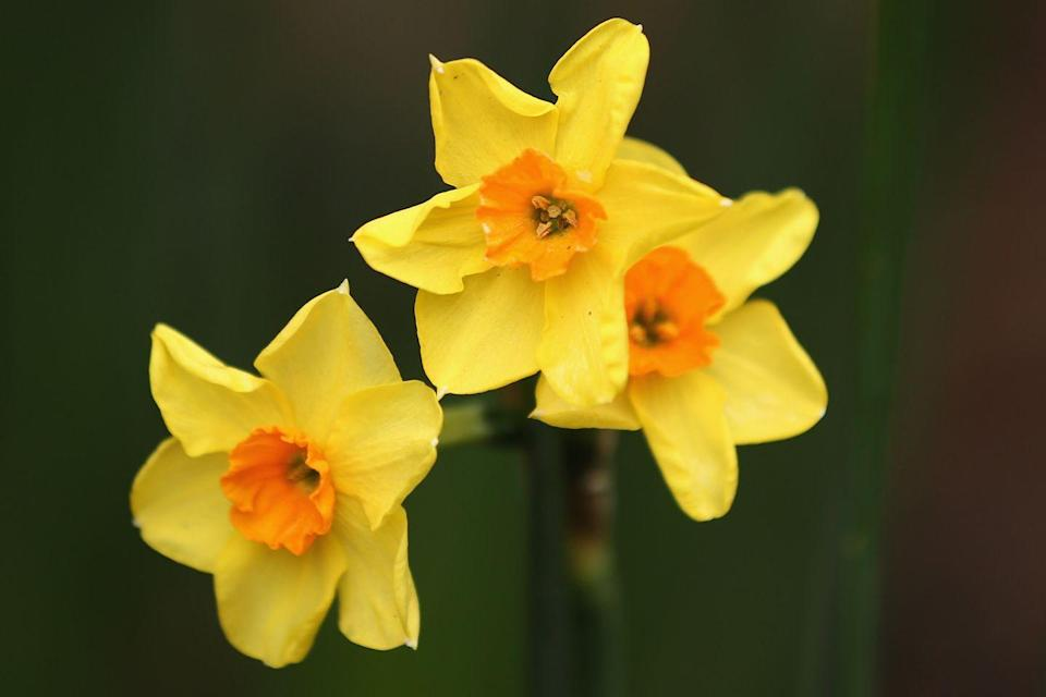 """<p>If you want daffodils in your yard, make sure to plant them in the fall, so they can bloom in early spring. FYI, they're the perfect flower to up your curb appeal.</p><p><strong>Bloom season: </strong>Early spring</p><p><a class=""""link rapid-noclick-resp"""" href=""""https://www.amazon.com/50-Daffodil-Mixture-Narcissus-Cupped/dp/B00O07UM3O?tag=syn-yahoo-20&ascsubtag=%5Bartid%7C10050.g.36596951%5Bsrc%7Cyahoo-us"""" rel=""""nofollow noopener"""" target=""""_blank"""" data-ylk=""""slk:SHOP DAFFODILS"""">SHOP DAFFODILS</a></p>"""