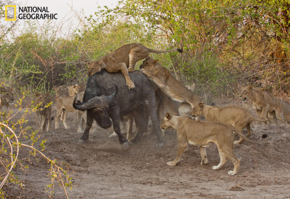 """South Luanga N.P., Zambia, 2011. Most lion kills occur at night, many times in the thickets. We witnessed a group of 20 lions take down an African buffalo in the afternoon and out from the thicket. Two prides had joined up, the Kaingo and Mwamba prides. There were 12 females and 8 young males. The pursuit and kill took over 20 minutes. As the African food chain worked its wonder, very little was left of the massive animal in 36 hours. (Photo and caption Courtesy Jim Edwards / National Geographic Your Shot) <br> <br> <a href=""""http://ngm.nationalgeographic.com/your-shot/weekly-wrapper"""" rel=""""nofollow noopener"""" target=""""_blank"""" data-ylk=""""slk:Click here"""" class=""""link rapid-noclick-resp"""">Click here</a> for more photos from National Geographic Your Shot."""