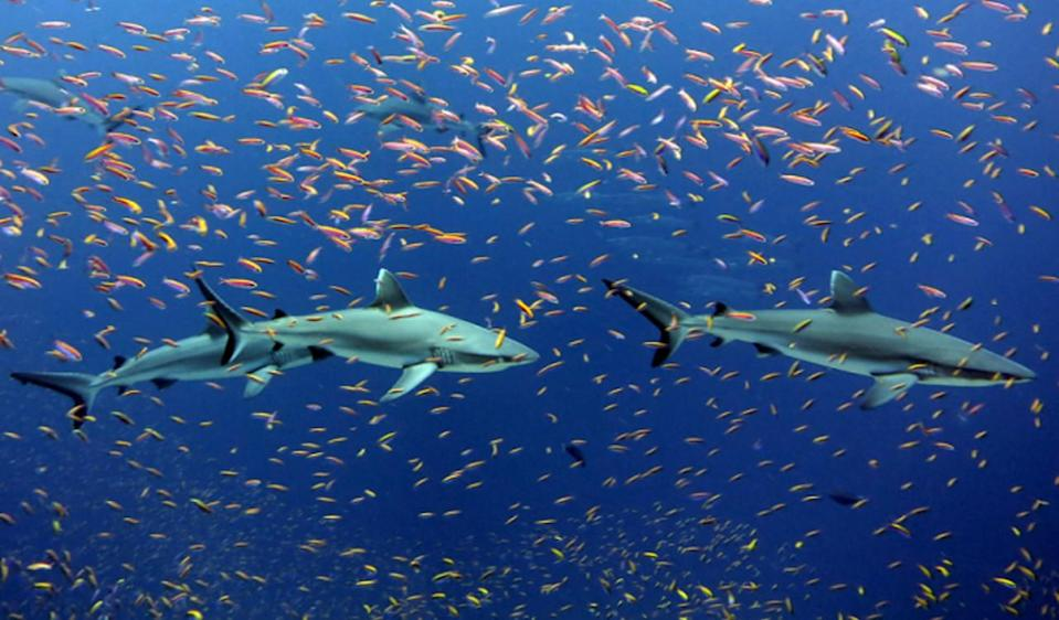 Some sharks can never stop moving. Scientists just figured out how they rest.