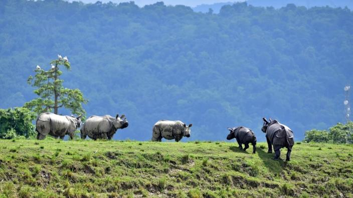 One-horned rhinos have moved to higher ground amid flooding