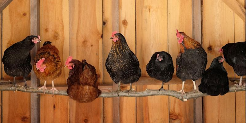 If You're Thinking of Raising Chickens, Take This Free Class