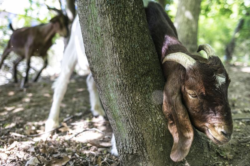 In a Friday, June 2, 2017 photo, goats from the landscaping company Munchers on Hooves graze on leaves and weeds near the Sindecuse Health Center on Western Michigan University's campus. The American Federation of State, County and Municipal Employees local union has filed a grievance in response to Western Michigan University's hiring of goats to clear 15 woodland acres on campus. (Carly Geraci/Kalamazoo Gazette-MLive Media Group via AP)