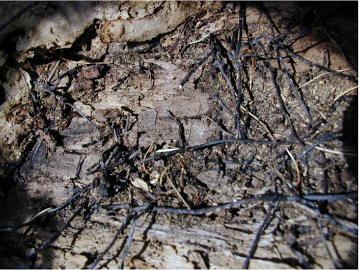 Armillaria rhizomorphs cover the exposed root system of a tree that was infected with the fungus and toppled by strong winds.