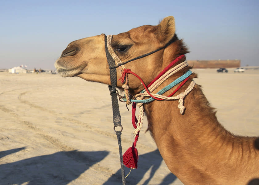 There was scientific evidence suggesting that dromedary camels are a major reservoir host for MERS-CoV which could have infected humans. — Reuters pic