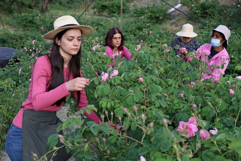 Elena Tsolakis (L) and helpers harvest the Damask roses for oil extraction in the small mountain village of Agros in the Troodos mountain range of Cyprus