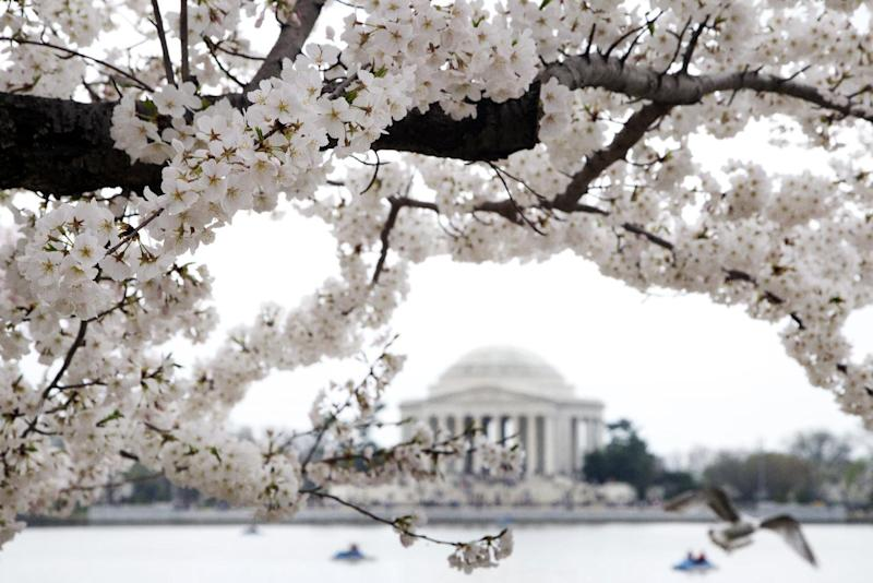 FILE - In this March 18, 2012 file photo, cherry blossom trees are in bloom around the Tidal Basin, with the Jefferson Memorial in the background in Washington. Officials in Washington are going to be predicting this year's peak bloom dates for the city's famed cherry trees. This year's National Cherry Blossom Festival is already planned for March 20 through April 14, but the National Park Service will be more specific about the predicted bloom dates on Monday. The average peak bloom date is April 4, but last year's peak bloom date was March 20. The cherry blossoms draw about 1 million visitors each spring. This year marks the 101st anniversary of the gift of trees from Japan. (AP Photo/Manuel Balce Ceneta, File)