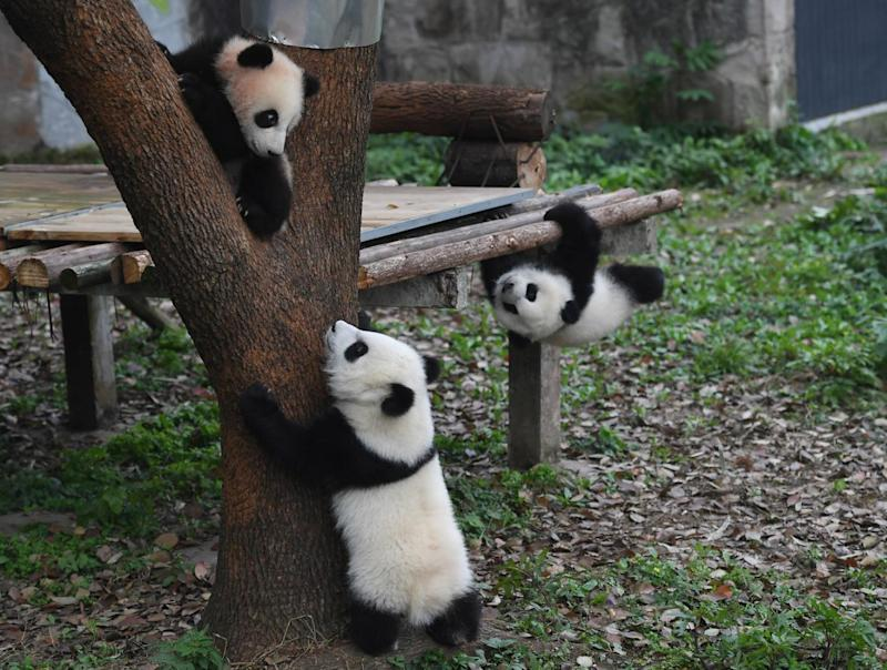 Cheeky critters: The adorable trio entertained tourists (Xinhua News Agency/Rex)