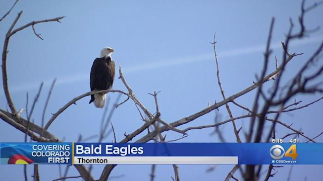 Bald Eagles Sun Themselves In Trees In Thornton
