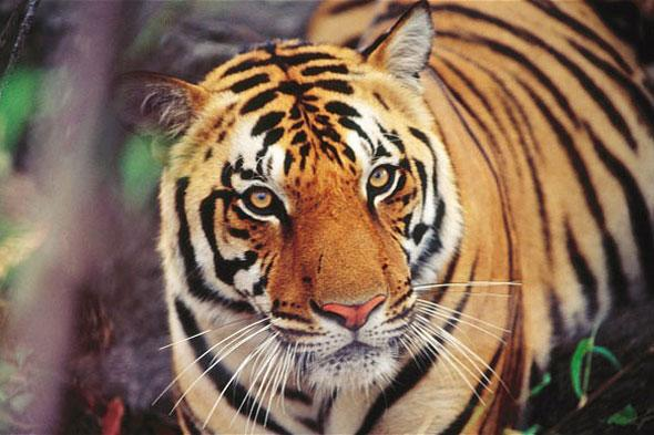 Is India's ban on tiger tourism a good thing?