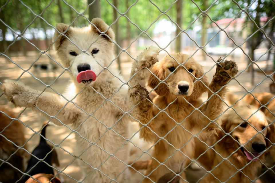 This photo taken on June 22, 2020, shows rescued dogs at a shelter on the outskirts of Beijing run by the NGO No Dogs Left Behind. (Photo by NOEL CELIS/AFP via Getty Images)