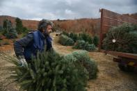Workers gather fir trees, grown to be sold as Christmas trees at a farm in the village of Taxiarchis, during the coronavirus disease (COVID-19) pandemic, in the region of Chalkidiki