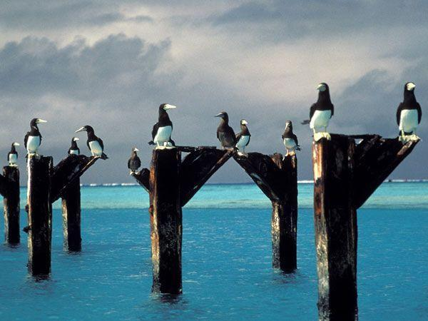 "<p>Now a National Wildlife Refuge deep in the Pacific, Johnston Atoll hasn't always been about the birds. The atoll, which makes up 696 acres of land over 800,000 square miles of ocean, was made a bird refuge in 1926. The largest of the four islands ""Johnston Island"" became the site of a U.S. Navy runway in 1934. The site turned toward nuclear testing from 1958 to 1975, complete with test launches and radioactive debris. Then, in 2003, Johnston Atoll was given back to the birds, though 1300 people still live and work there.<br></p>"