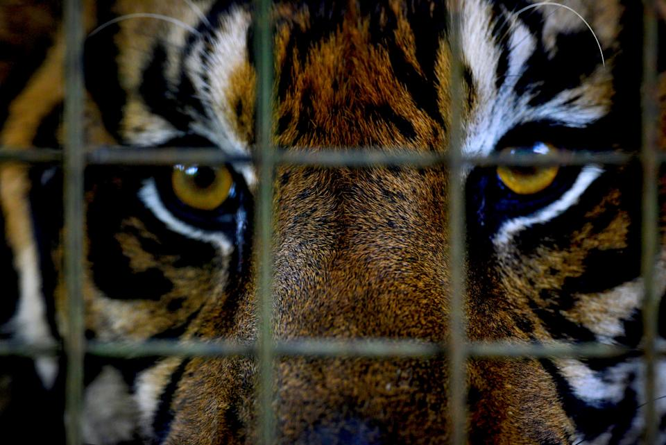 The prom's displaying of a caged tiger has given rise to allegations of animal cruelty. (Photo: Dodik Putro/EyeEm/Getty Images)