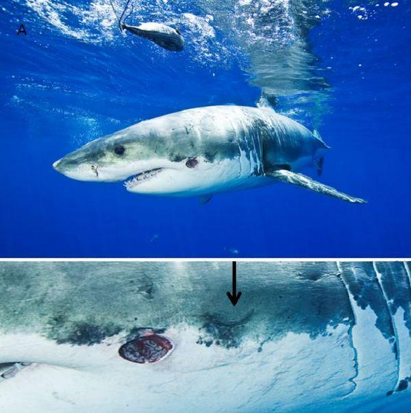 Two pictures of the white shark with bite and scar inflicted by a cookiecutter shark. To the right of the fresh bite (see arrow) is a suspected crescent-shaped scar from an earlier bite.