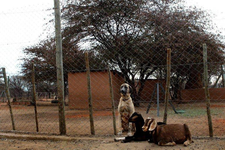 An Anatolian Shepherd dog and two goats sit at The Cheetah Conservation Fund in Otjiwarongo, Namibia, on August 13, 2013. The breed descends from ancient livestock dogs used thousands of years ago in what is now central Turkey