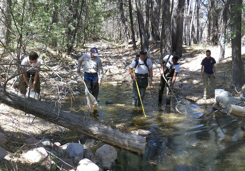 U.S. Fish and Wildlife Service biologists and volunteers use nets to remove two species of trout from a creek in the Chiricahua National Forest near Elfrida, Ariz., in this photo made on June 17, 2011. Unlike some major wildfires that inflict a serious human toll, perhaps the biggest impact from the largest wildfire in Arizona history will fall squarely on an ecosystem that's home to numerous endangered species.   (AP Photo/Humberto Rodriguez, U.S. Fish and Wildlife Service)