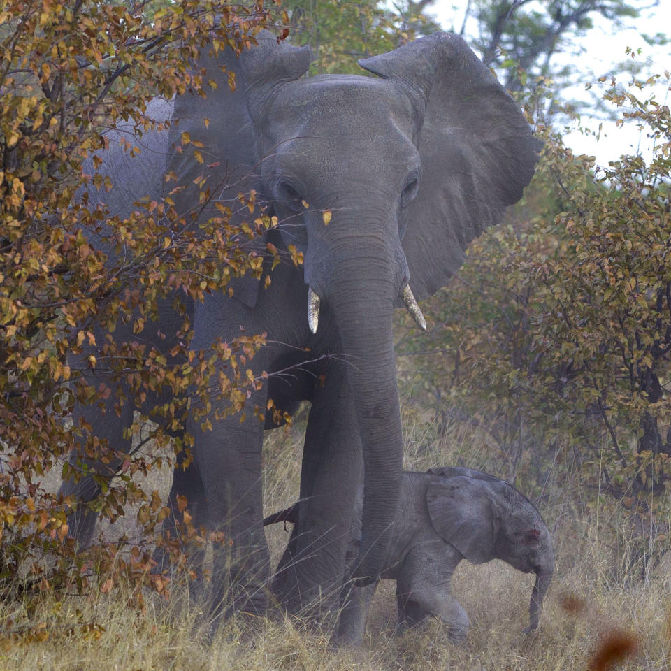 PIC BY JAYESH MEHTA / CATERS NEWS - (PICTURED: The elephant calf safe with its parent) - This is the incredible moment an elephant came to the rescue of one of its babies being attacked by a pack of hyenas. The elephant is seen charging at the hyenas to ward them off its offspring. These amazing pictures were captured by American photographer Jayesh Mehta, 47, in the Savuti region of the Chobe National Park in Botswana. SEE CATERS COPY.