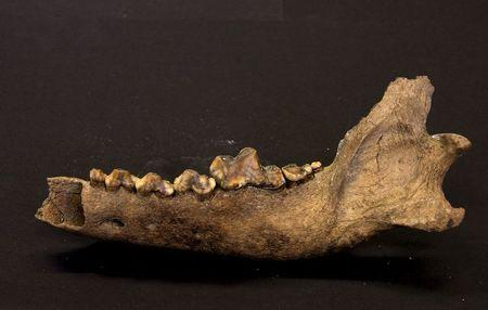The lower jawbone of the Taimyr Wolf that lived approximately 27,000 to 40,000 years ago