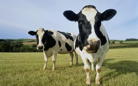 The technique could help dairy farmers produce far more females  - Credit: Peter Cade Getty