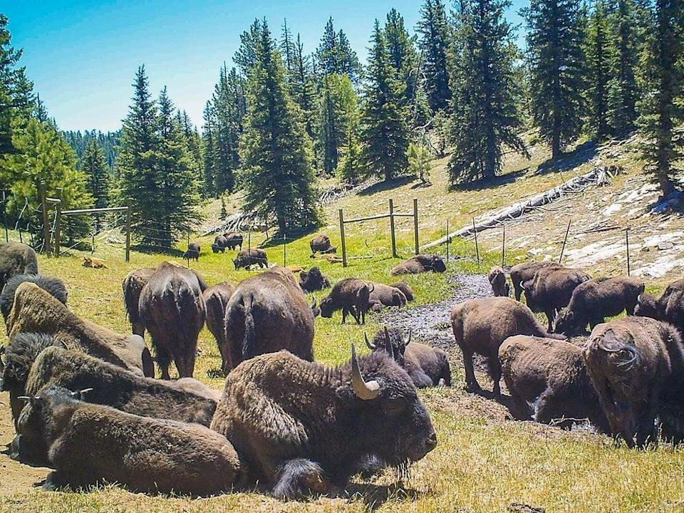 <p>A herd of bison on the North Rim of Grand Canyon National Park</p> (US National Parks Service)