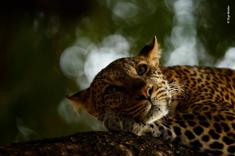 Lounging leopard by Skye Meaker, winner of the youth prize