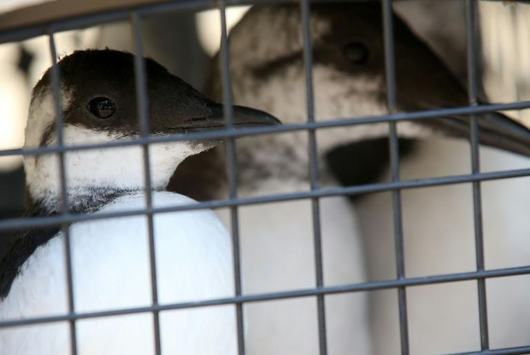 Common murres sit in a crate in Sausalito California awaiting release in October 2015 after they were rescued from starvation by International Bird Rescue
