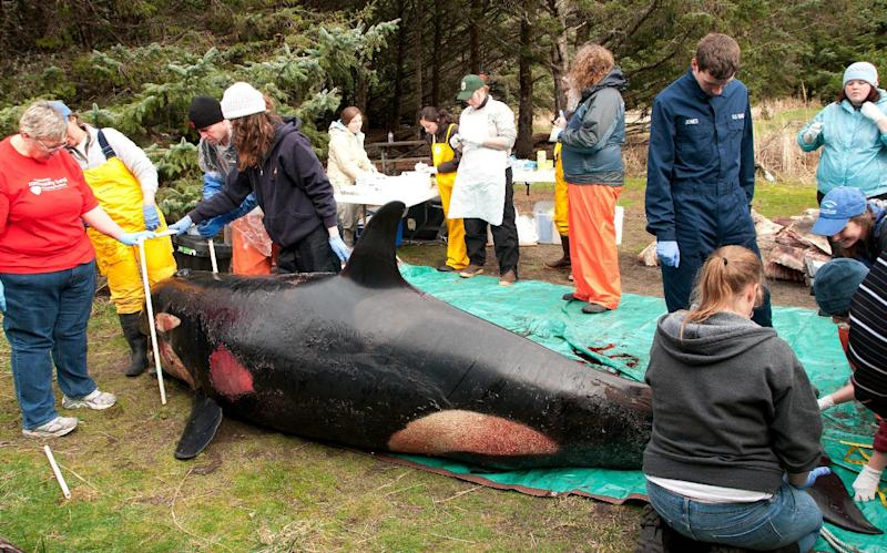 FILE - In this Feb. 11, 2012 file photo provided by the Seaside Aquarium, a team works on a dead killer whale after it washed ashore near Long Beach, Wash. Two months after the 3-year-old endangered orca washed ashore bloodied and bruised in Washington state, the cause of her death remains a mystery. Marine experts believe the female killer whale, known as L-112, died of massive blunt force trauma, but they're still examining evidence and waiting for tests of tissue samples to determine what caused that trauma. Some orca experts, however, suspect the injuries are linked to an underwater explosion or military training activity at sea. (AP Photo/Seaside Aquarium, Tiffany Boothe)